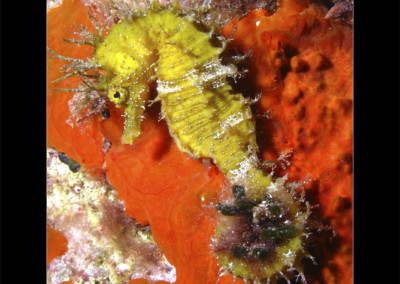 26 Hipocampus Ramulosus, Caballito de Mar