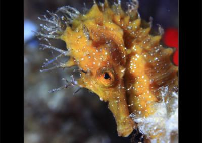 59 Hipocampus Ramulosus, Caballito de Mar